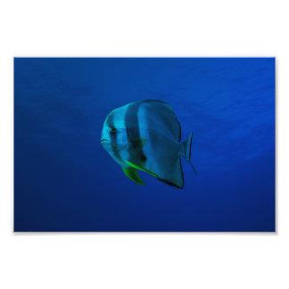 Batfish en la impresión de la foto del mar de fotografía