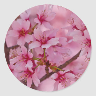Bathed in Pink Japanese Cherry Blossoms Classic Round Sticker