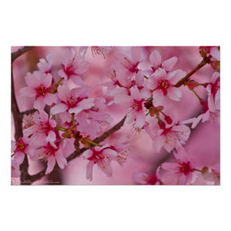Bathed in Pink Japanese Cherry Blossoms Poster