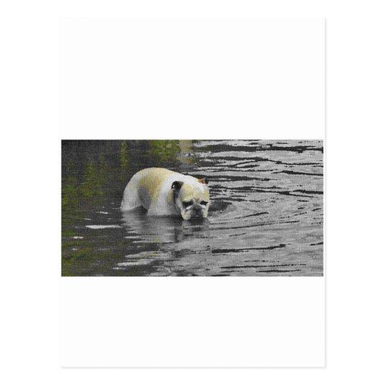Bathing Bulldog Postcard