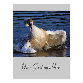 Bathing Cygnet Postcard