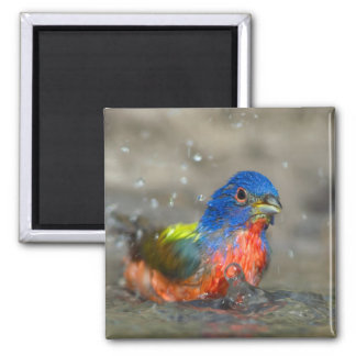 """Bathing Male Painted Bunting """"Passerina ciris"""" 2 Inch Square Magnet"""