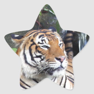 Bathing Sumatra tiger Star Sticker