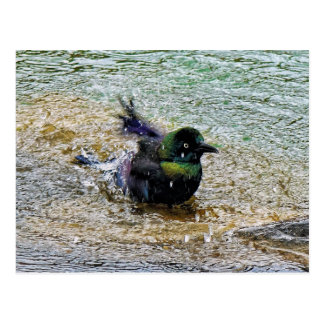 Bathing Time for the Starling Postcard