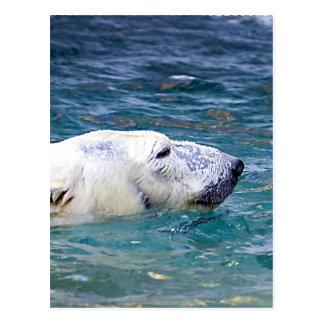 Batimiento del oso polar postales
