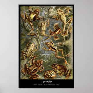 Batrachia – Plate 68 - Kunstformen der Natur Poster