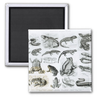 Batrachians and other Amphibia 2 Inch Square Magnet