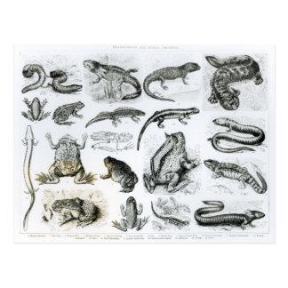 Batrachians and other Amphibia Postcard