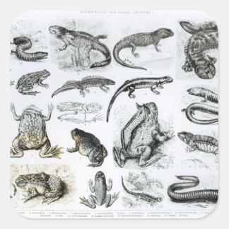 Batrachians and other Amphibia Square Sticker