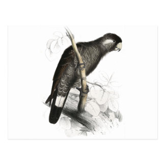 Baudin's Cockatoo by Edward Lear Postcard