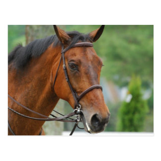 Bay Arab Horse Postcard
