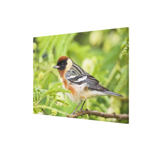 Bay-breasted Warbler (Dendroica castanea) adult Canvas Print