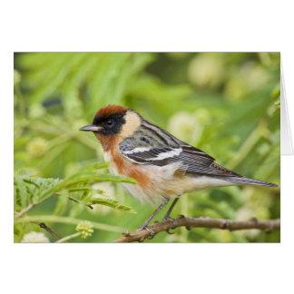 Bay-breasted Warbler (Dendroica castanea) adult Card