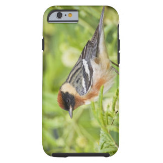 Bay-breasted Warbler (Dendroica castanea) adult Tough iPhone 6 Case