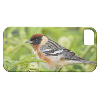 Bay-breasted Warbler (Dendroica castanea) adult iPhone 5 Cases
