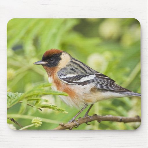 Bay-breasted Warbler (Dendroica castanea) adult Mouse Pads