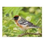 Bay-breasted Warbler (Dendroica castanea) adult Postcard