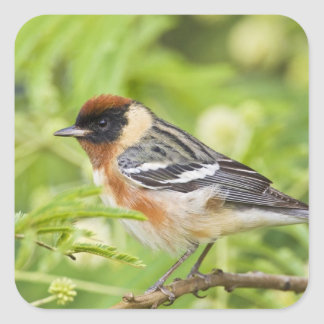 Bay-breasted Warbler (Dendroica castanea) adult Stickers