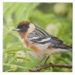 Bay-breasted Warbler (Dendroica castanea) adult Tile