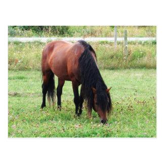 Bay Connemara Pony, Horse, Grazing Postcard