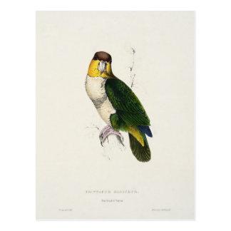 Bay-headed Parrot Postcard