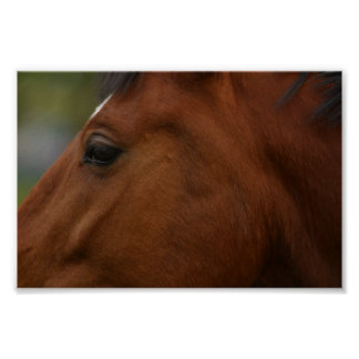 Bay Horse Closeup Poster
