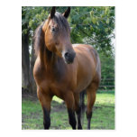 Bay Thoroughbred Horse Postcard