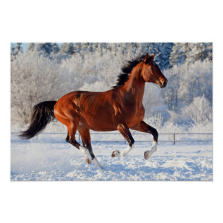 Bay trakehner stallion galloping in winter poster