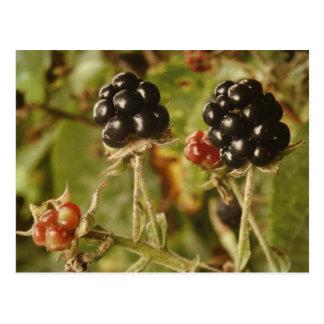 Bayas negras salvajes deliciosas tarjeta postal