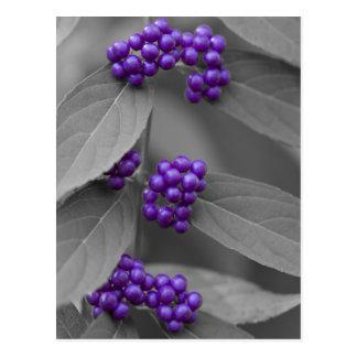 Bayas púrpuras en la postal blanco y negro