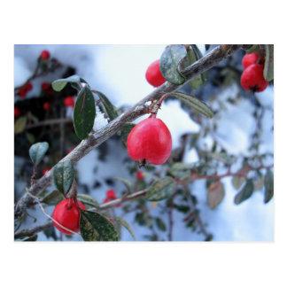 Bayas rojas del escaramujo del invierno postales