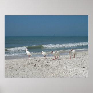 Beach Ibis Posters