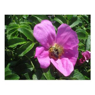 Beach Plum Rose with Bee Postcard
