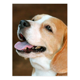 Beagle Dog Postcard