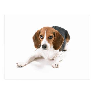 Beagle Dog Postcard