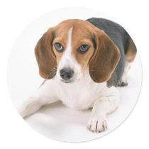 Beagle Dog Stickers