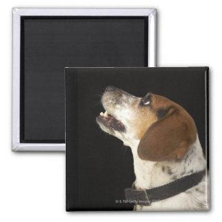 Beagle dog with black collar profile magnet