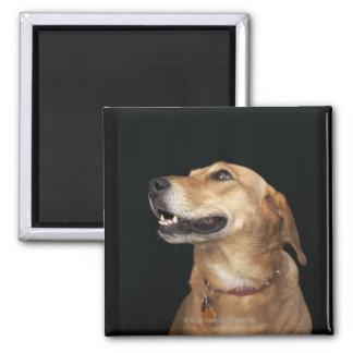 Beagle Golden Lab Mix looking to the side 2 Inch Square Magnet