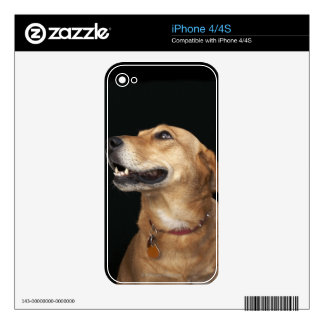 Beagle Golden Lab Mix looking to the side iPhone 4S Decal