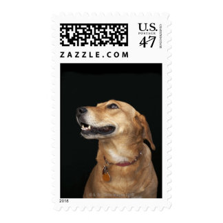 Beagle Golden Lab Mix looking to the side Postage Stamp