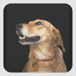 Beagle Golden Lab Mix looking to the side Square Sticker