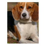 Beagle Hound Postcard