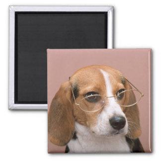 Beagle Iman