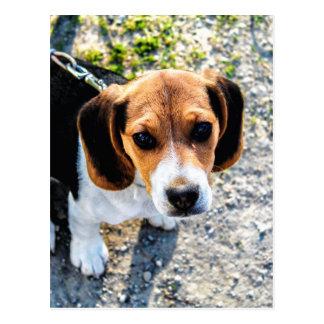 Beagle lindo postales