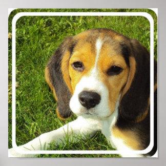 Beagle Poster Print