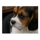 Beagle Pup Postcard
