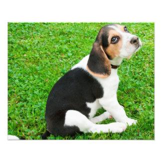 Beagle puppy dog eyes of admiration photo print