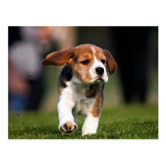 Beagle Puppy Love Postcard