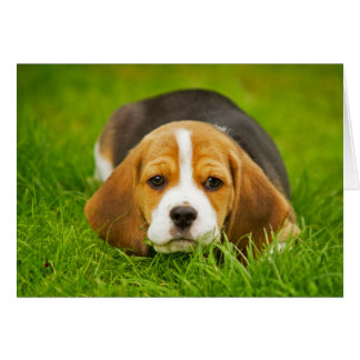 Beagle Puppy Ready to Pounce Card