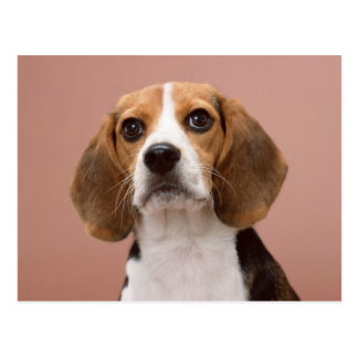 Beagle Tarjeta Postal